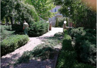 Cutting the coniferous bushes